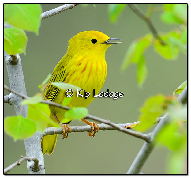 Yellow Warbler at Sweet Marsh (504958)