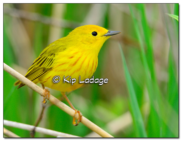 Yellow Warbler at Sweet Marsh (504987)