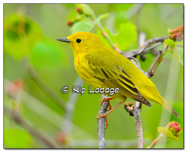 Yellow Warbler at Sweet Marsh (505008)