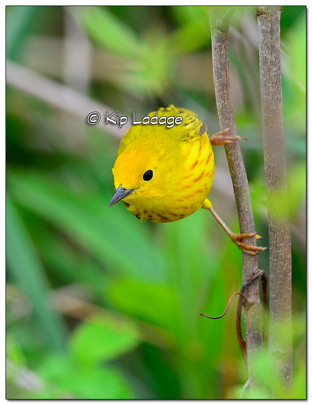 Yellow Warbler at Sweet Marsh (505025)