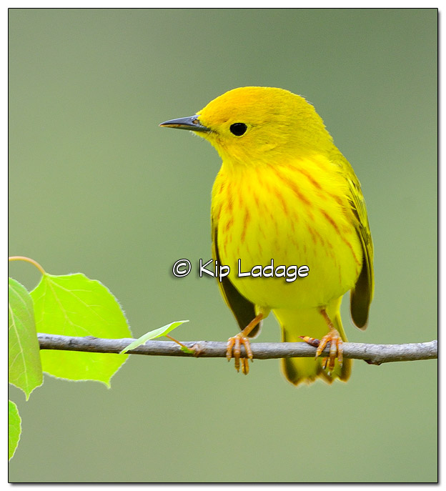 Yellow Warbler at Sweet Marsh (505040)