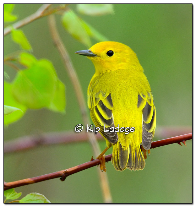 Yellow Warbler at Sweet Marsh (505072)