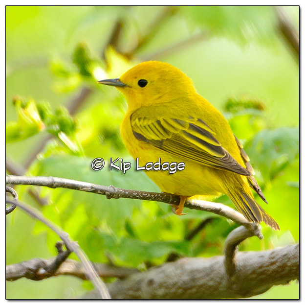 Yellow Warbler at Sweet Marsh (505509)