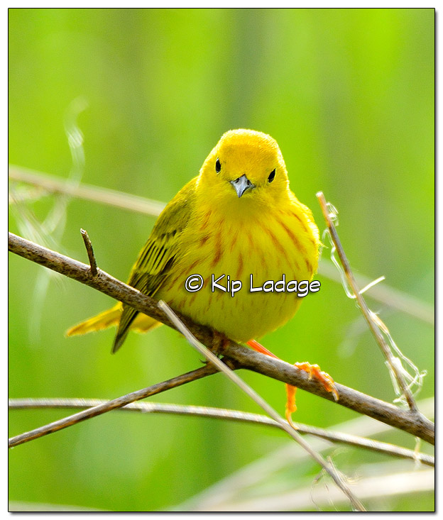Yellow Warbler at Sweet Marsh (505520)