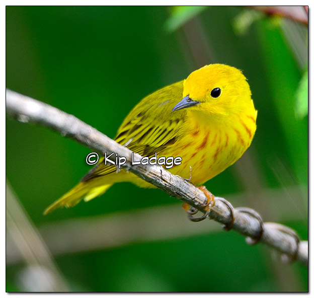 Yellow Warbler at Sweet Marsh (505534)