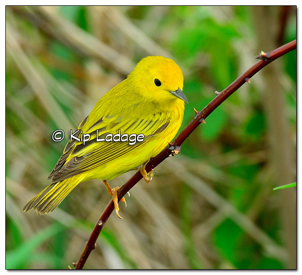 Yellow Warbler at Sweet Marsh (505555)
