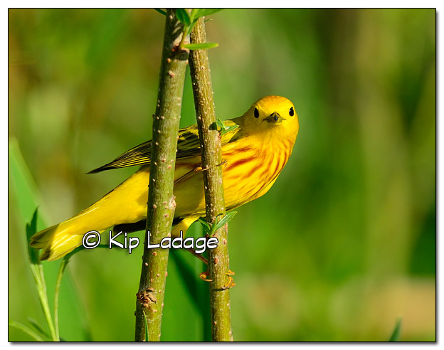 Yellow Warbler at Sweet Marsh (505643)