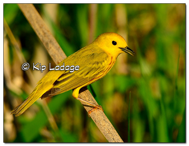 Yellow Warbler at Sweet Marsh (505692)
