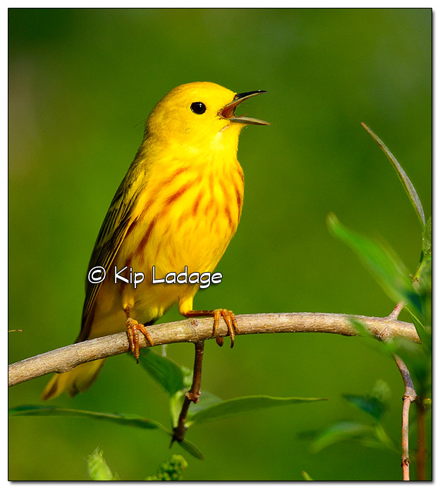 Yellow Warbler at Sweet Marsh (505708)