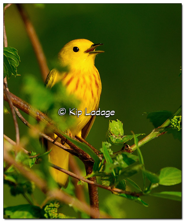 Yellow Warbler at Sweet Marsh (505718)