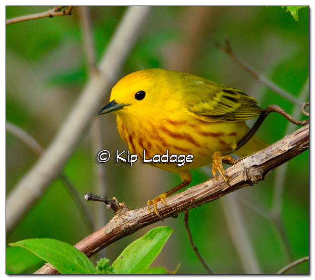 Yellow Warbler at Sweet Marsh (505763)