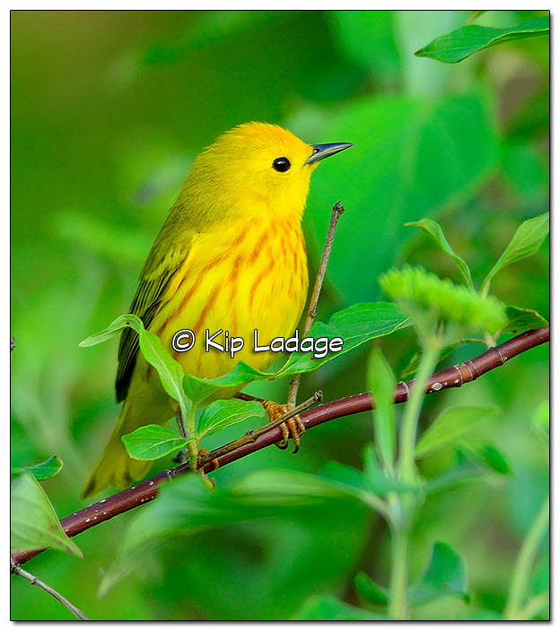 Yellow Warbler at Sweet Marsh (507702)