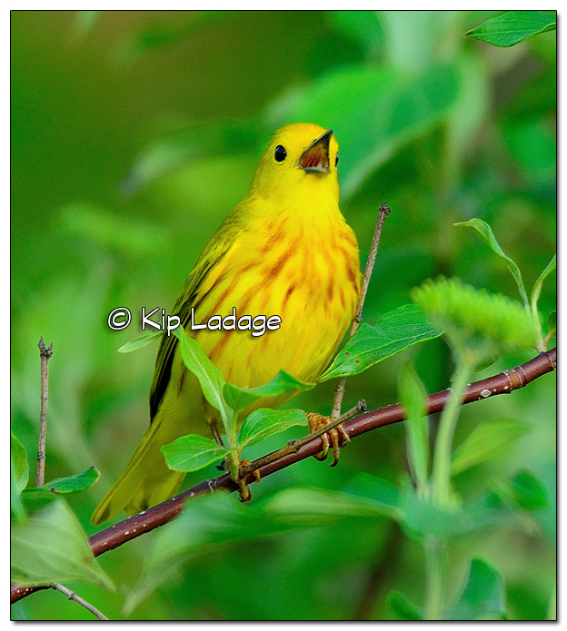 Yellow Warbler at Sweet Marsh (507703)