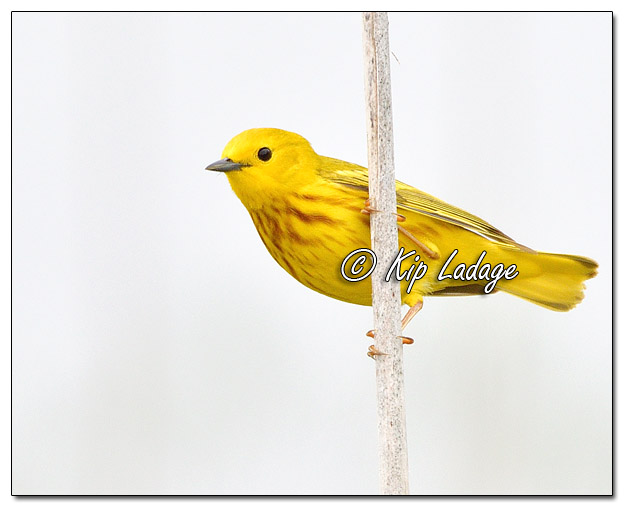 Yellow Warbler at Sweet Marsh (570793)