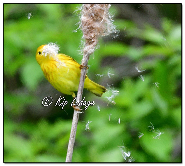 Yellow Warbler at Sweet Marsh (570854)