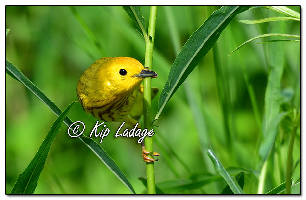 Yellow Warbler at Sweet Marsh (573838)