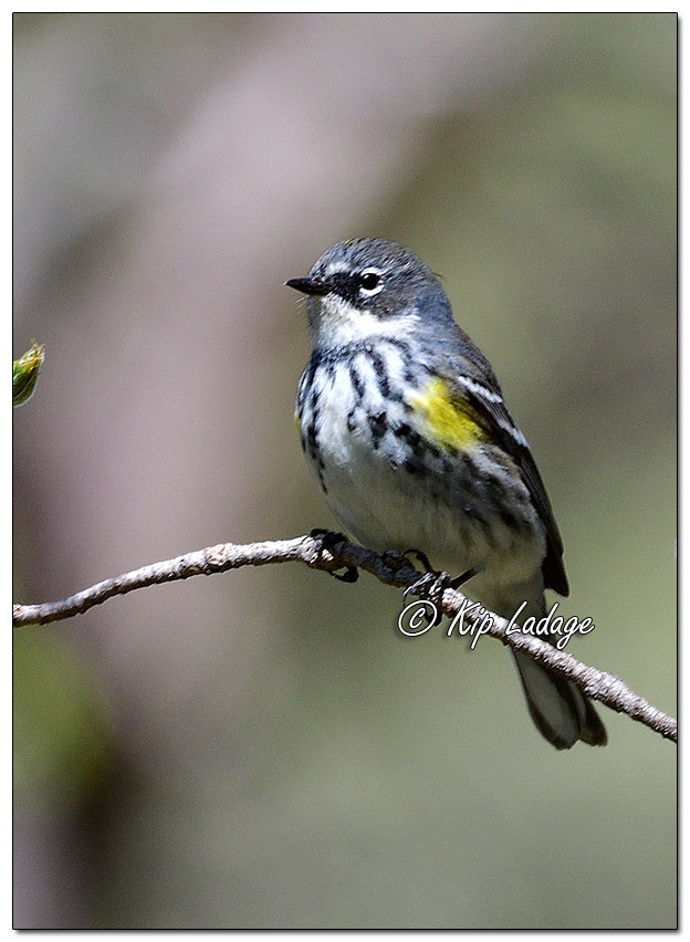 Yellow-rumped Warbler at Ingawanis Woodlands (560749)