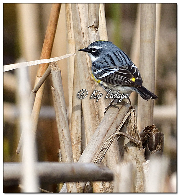 Yellow-rumped Warbler at Sweet Marsh (562671)
