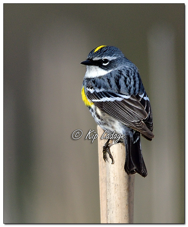 Yellow-rumped Warbler at Sweet Marsh (562687)