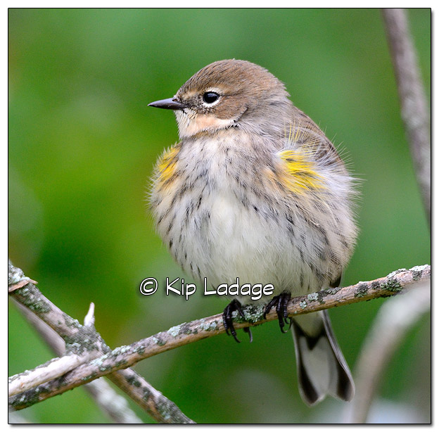 Yellow-rumped Warbler in Fall Plumage (525537)