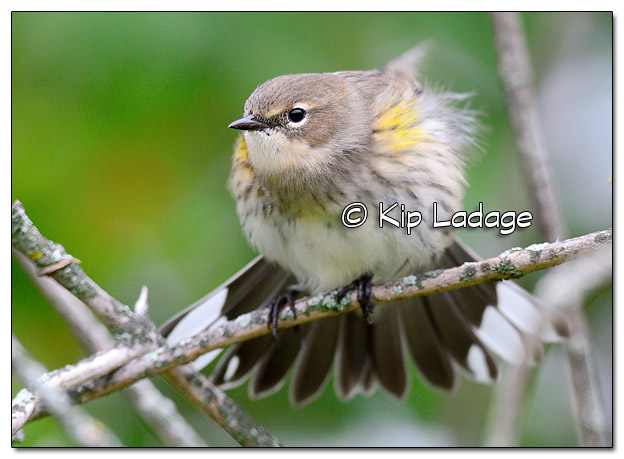 Yellow-rumped Warbler in Fall Plumage (525547)