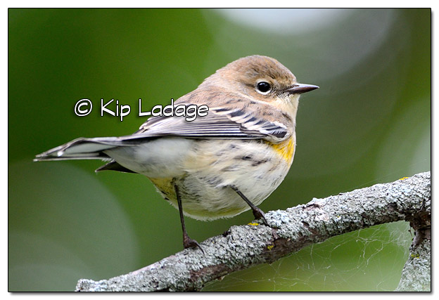 Yellow-rumped Warbler in Fall Plumage (525561)