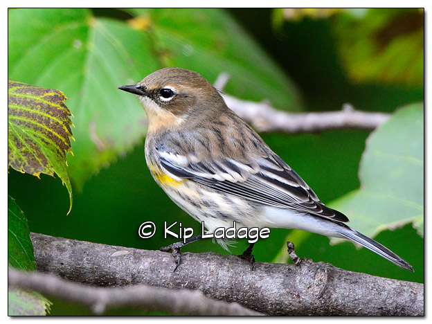 Yellow-rumped Warbler in Fall Plumage (525568)