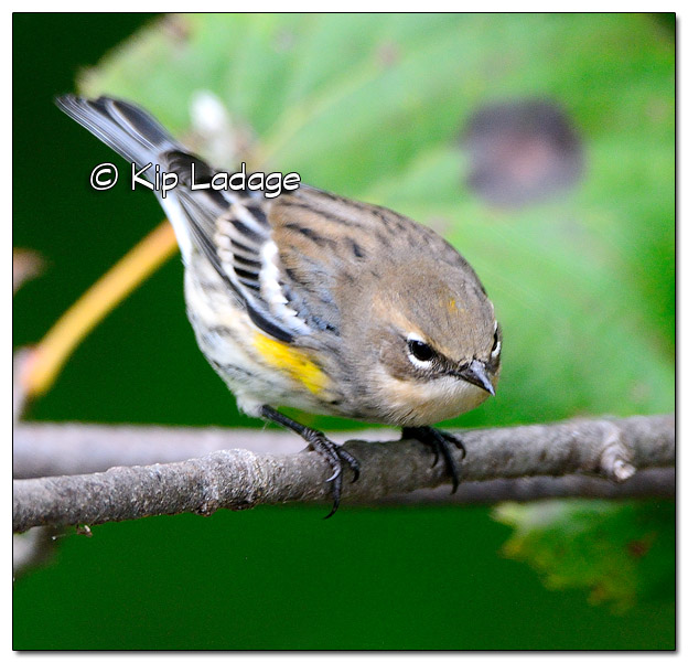 Yellow-rumped Warbler in Fall Plumage (525571)