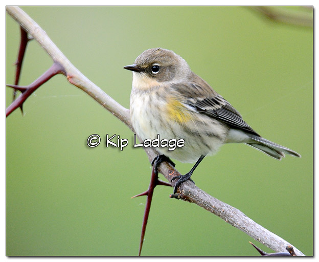 Yellow-rumped Warbler in Fall Plumage at Casey Lake (525327)