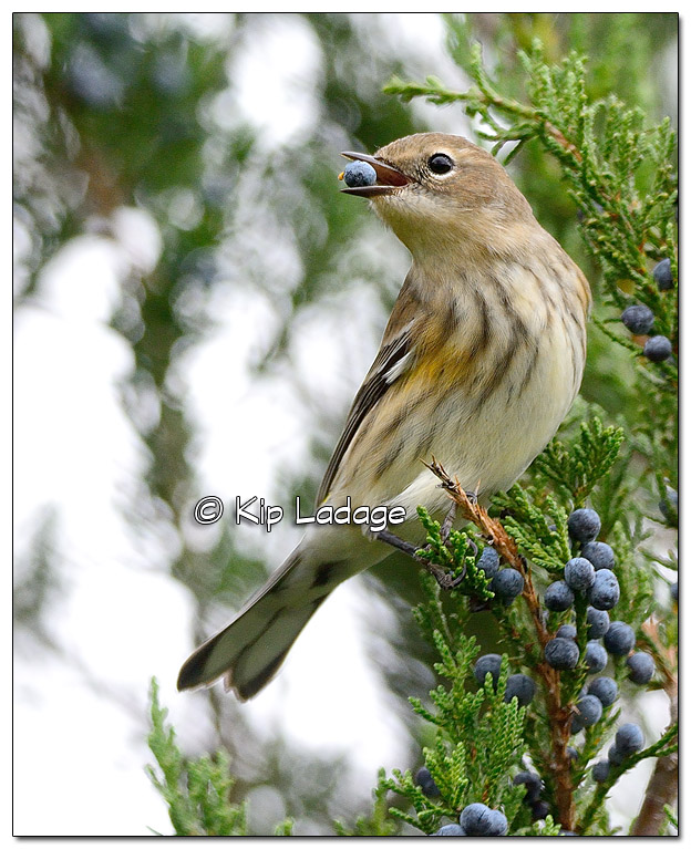 Yellow-rumped Warbler in Fall Plumage with Cedar Berry (525282)