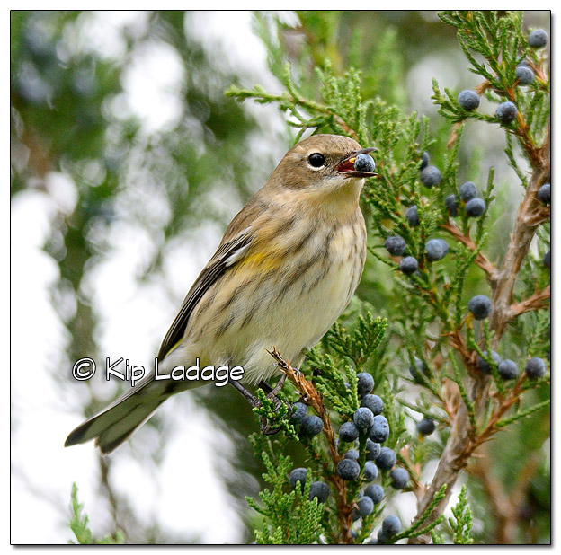 Yellow-rumped Warbler in Fall Plumage with Cedar Berry (525284)