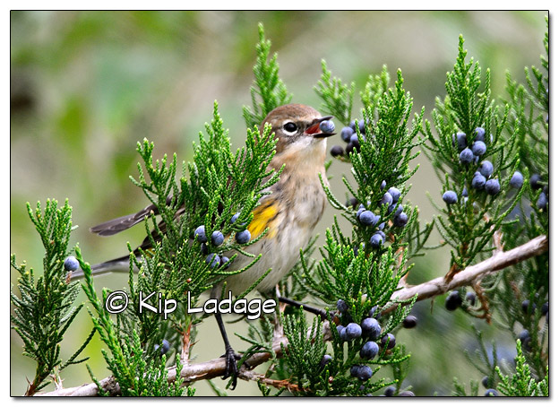 Yellow-rumped Warbler in Fall Plumage with Cedar Berry (525289)