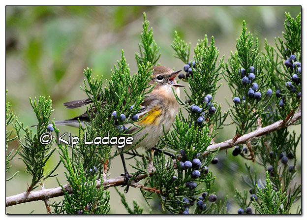 Yellow-rumped Warbler in Fall Plumage with Cedar Berry (525296)