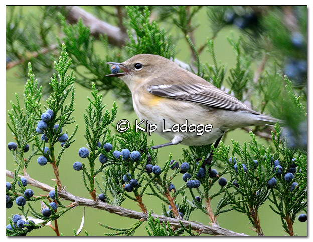 Yellow-rumped Warbler in Fall Plumage with Cedar Berry (525302)