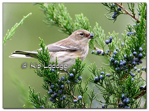 Yellow-rumped Warbler in Fall Plumage with Cedar Berry (525310)