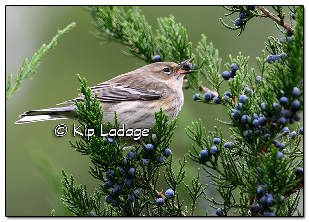 Yellow-rumped Warbler in Fall Plumage with Cedar Berry (525320)