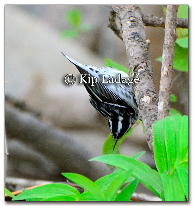 black-and-white-warbler-253340