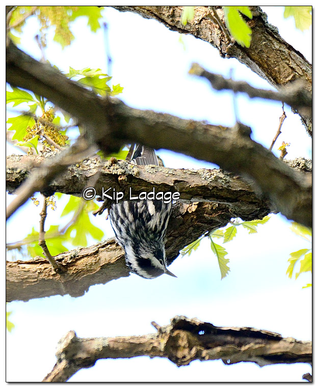 black-and-white-warbler-379190