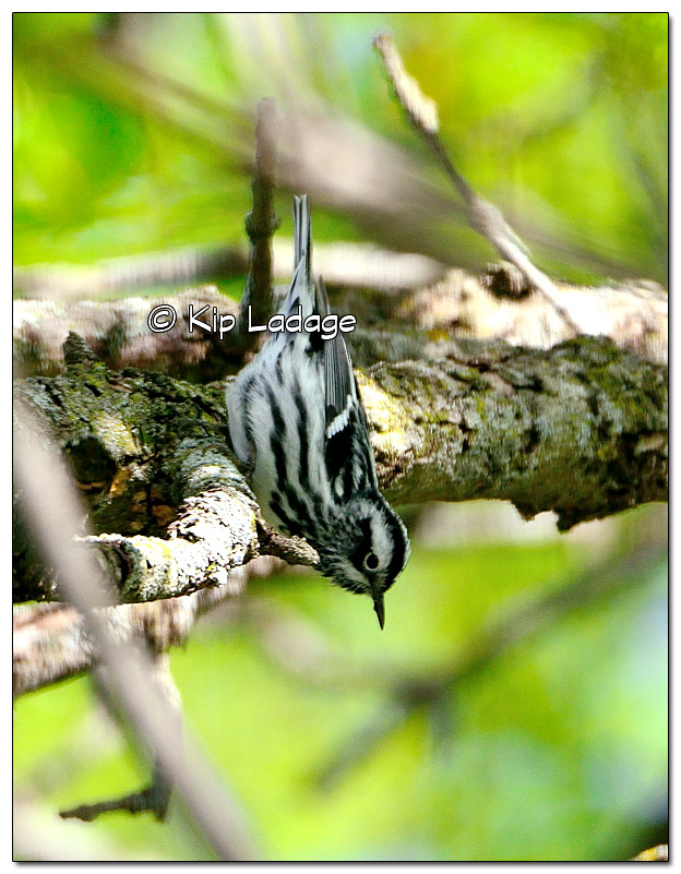 black-and-white-warbler-on-wapsipinicon-river-379371