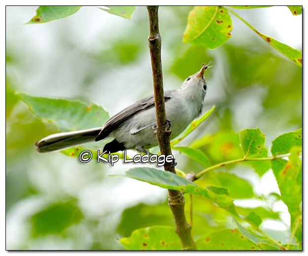 blue-gray-gnatcatcher-along-wapsipinicon-river-334933