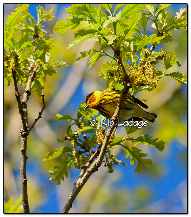 cape-may-warbler-379051