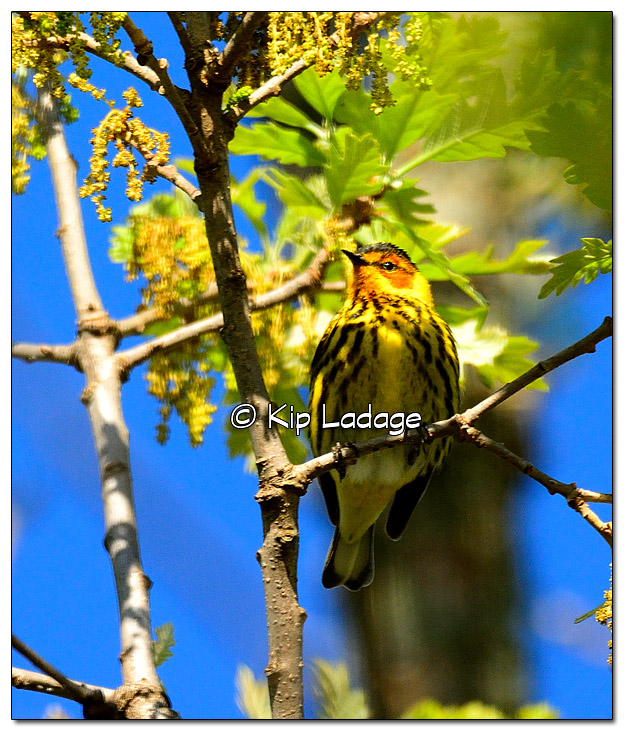 cape-may-warbler-379075
