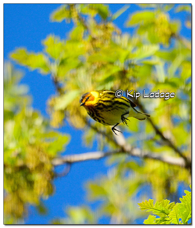 cape-may-warbler-379079