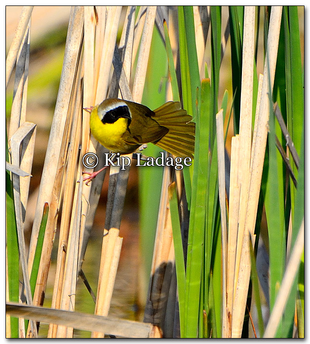 common-yellowthroat-256883