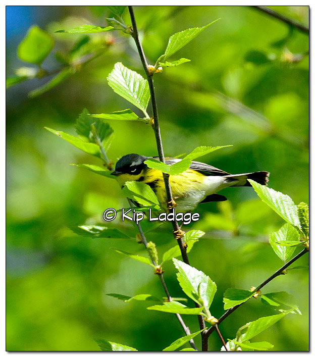 magnolia-warbler-on-wapsipinicon-river-379514