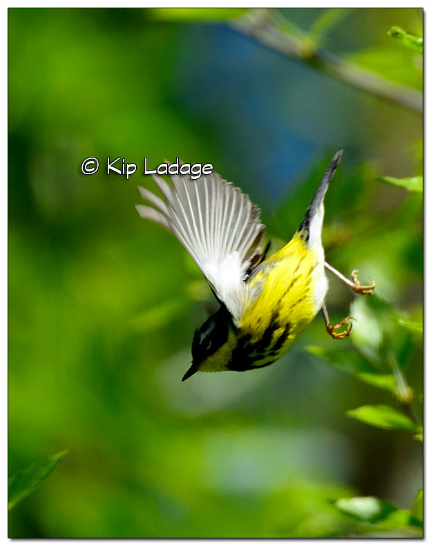 magnolia-warbler-on-wapsipinicon-river-379520