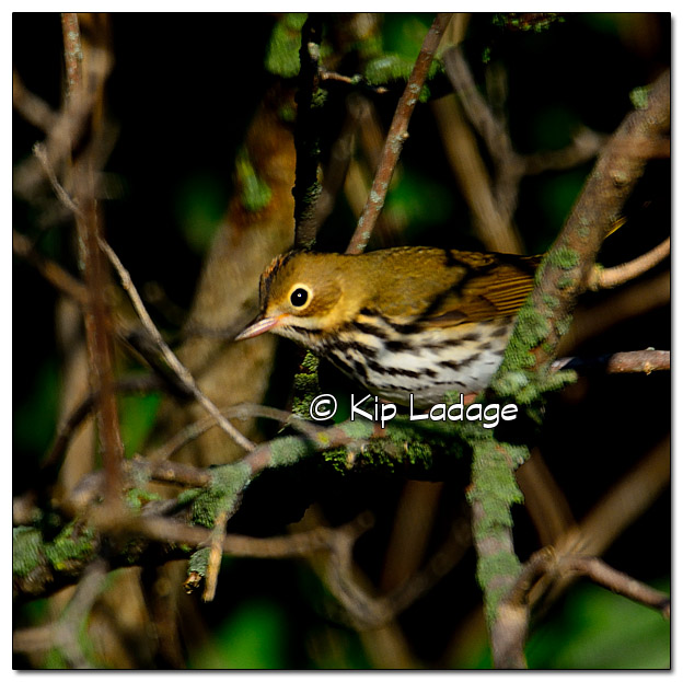 ovenbird-in-tree-338803
