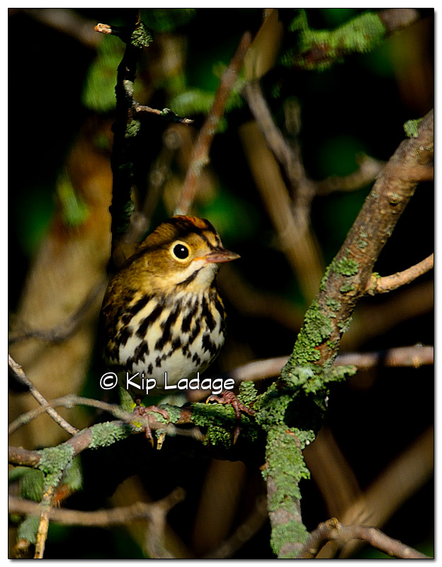 ovenbird-in-tree-338813