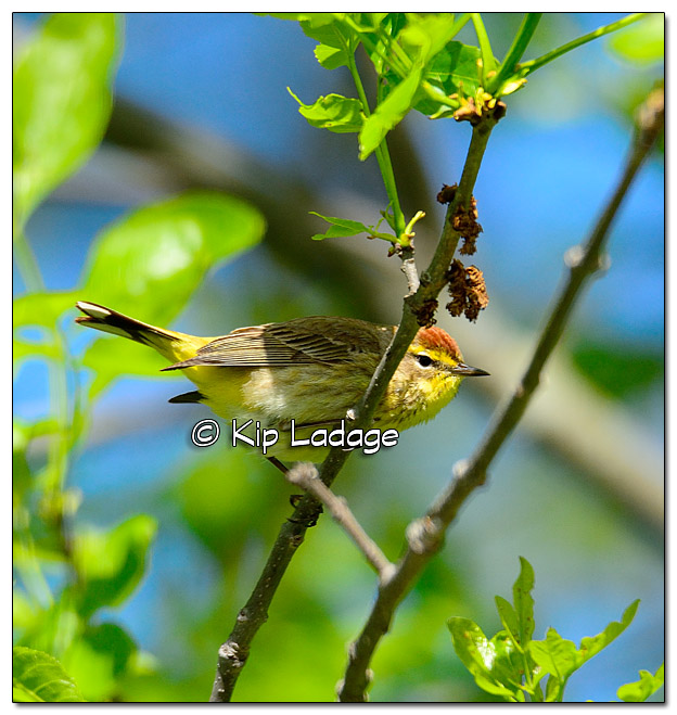 palm-warbler-along-wapsipinicon-river-379532