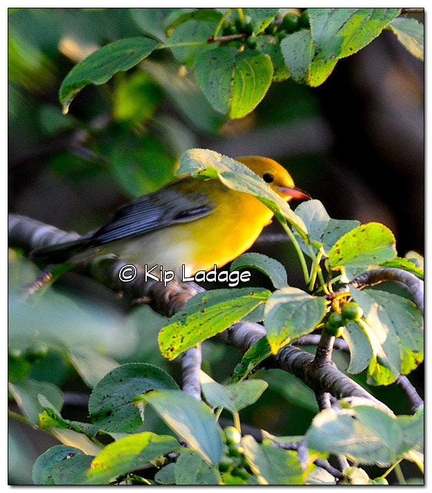 prothonotary-warbler-on-wapsipinicon-river-331156